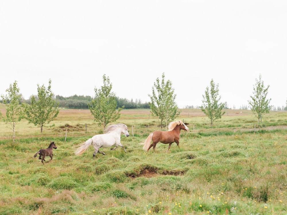 Horses in Iceland by Catherine Taylor now on Cottage Hill20.jpg