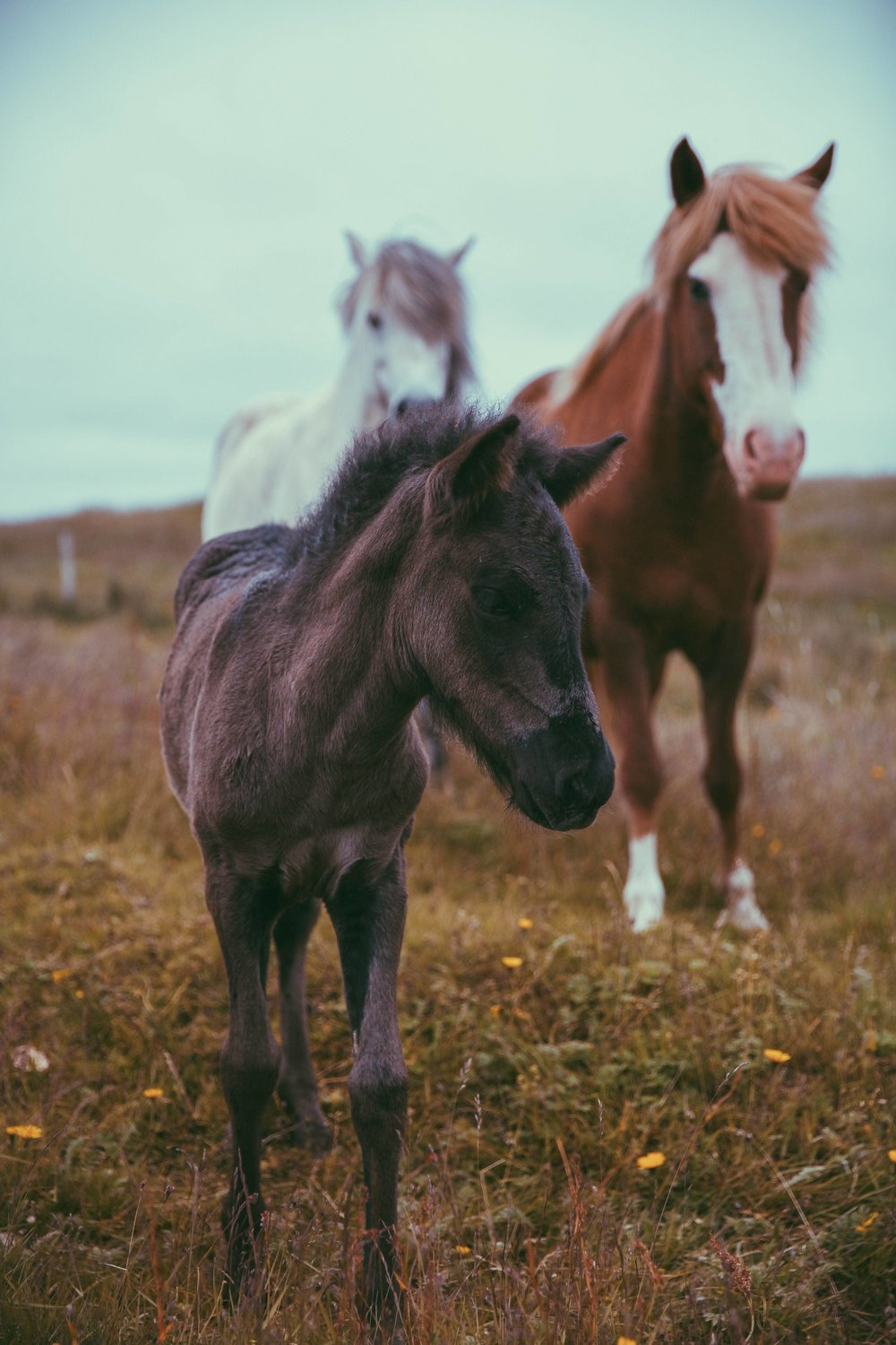 Horses in Iceland by Jessie Watts now on Cottage Hill10.jpg