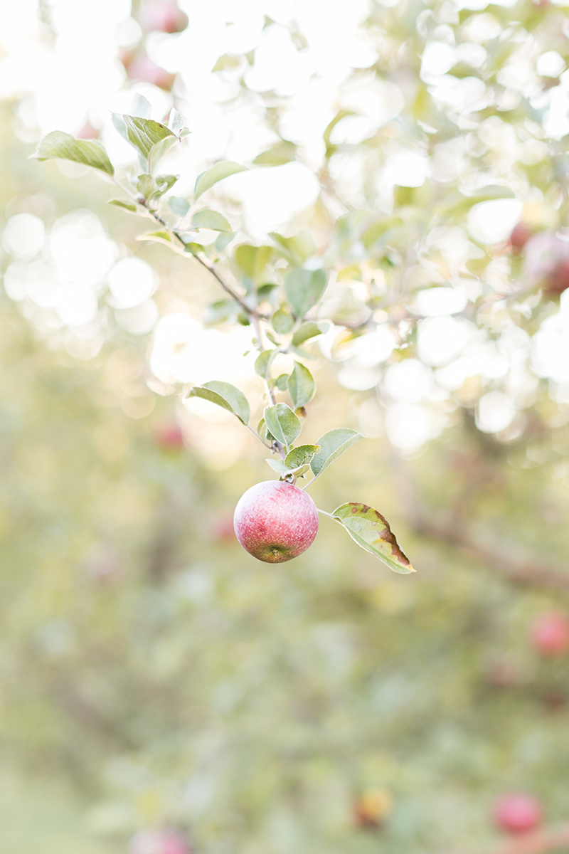 Fall Apple Orchard now on Cottage Hill1.jpg