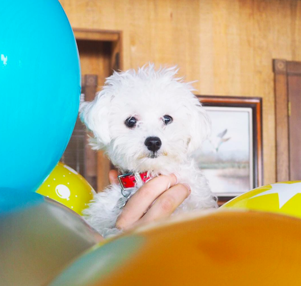"""I'm Pixel the Maltipoo. I like long hikes, Chinese food, and face licking."""