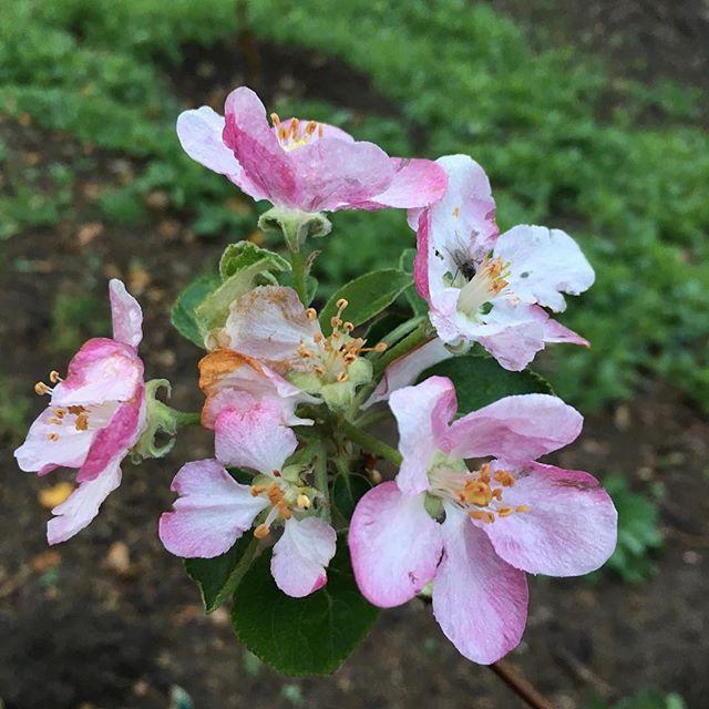 Pink pearls blooming.