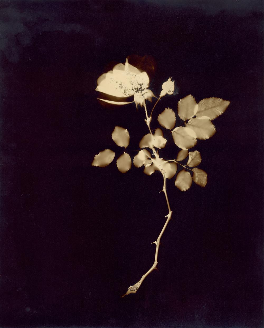 rosewbud810.jpg