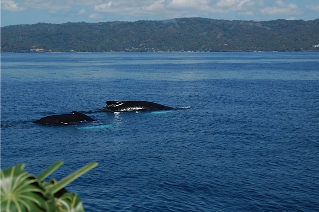 Humpback whales in Samana Bay, Dominican Republic