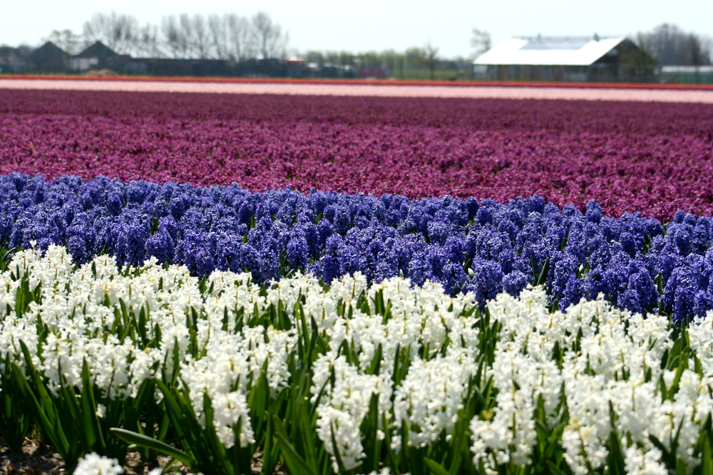 Hyacinths in The Netherlands. (Blair Gowan photo)