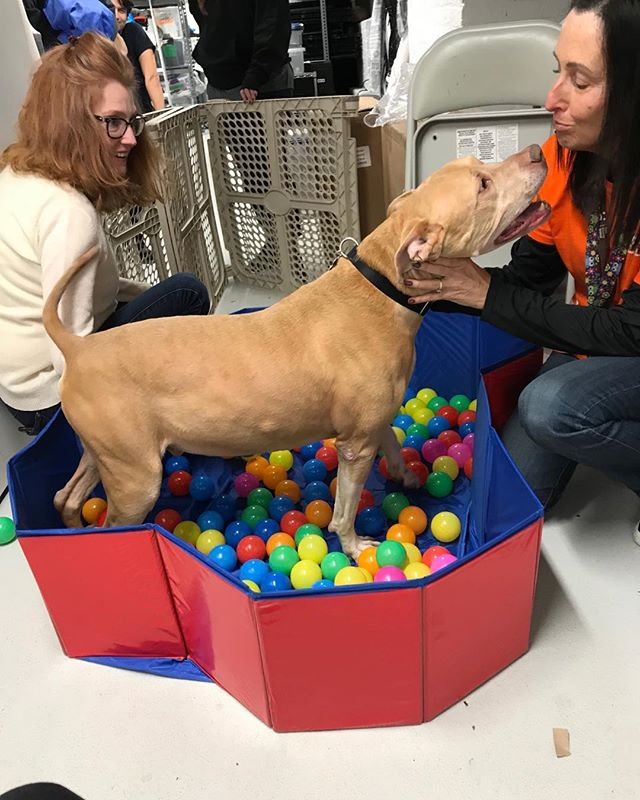A fun rainy afternoon at the Life Saving Center in NYC with Best Friends Northeast Regional Director, Elizabeth Jensen and volunteer Anne Pechstein. Having a ball! Rocky the Terrier/Mixed is enjoying playtime and would love to meet you. 🐾🐶♥️ . . . . . #bestfriendsanimalsocietyny #dogenrichmenttime #savethemall #savethemallby2025 #adoptdontshop # haveaballwithrocky