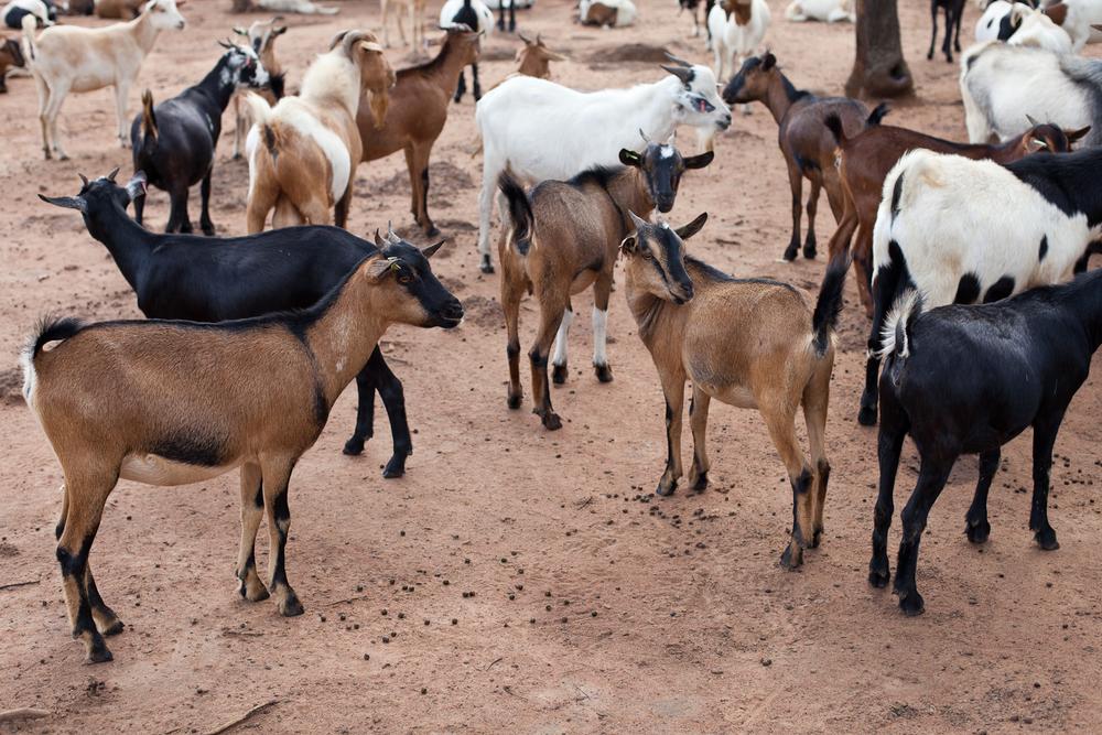 IDI Goats.jpg
