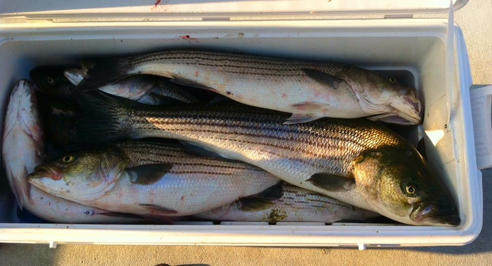 A cooler filled with keeper stripers!
