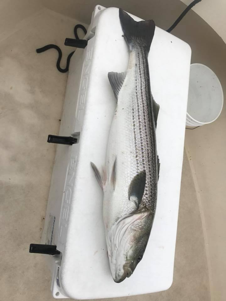 striped bass charter newburyport salisbury seabrook nh .jpg