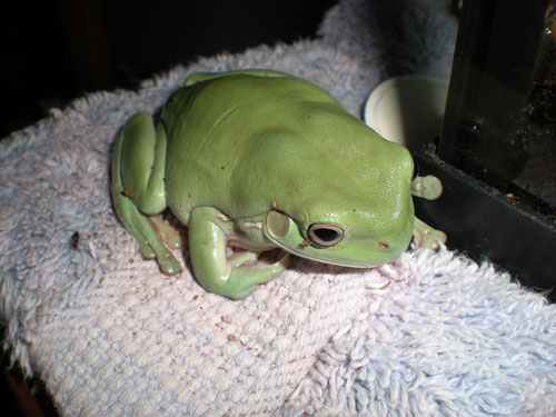 "Shamrock is an Australian White's Dumpy Tree Frog belongs to Evelyn O. of California. He appears in Chapter 27 during a scene between our heroine and three young baseball players.    Here is the anecdote that Evelyn sent in with Shamrock's picture: ""I got Shamrock as a St. Patrick's Day Present to myself, hence the name Shamrock. He is as big as the palm of my hand. One day I was holding him in the living room and talking to my mom about him. She was not happy and said that I better put him away before he jumps on her. I said he wouldn't jump on her.    No sooner had the words left my mouth, then Shamrock leaps off my hand, jumps over my mom and lands on the other side of the living room on a ottoman. My mom freaked out and screamed. I was laughing so hard that it was hard to get him. Once I had a hold of him I promptly took him back to his habitate in my room."""
