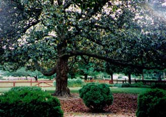 This gigantic magnolia tree was just too magnificent not to include in the novel. It makes its appearance during the scene in which Constance meets her first Native American.