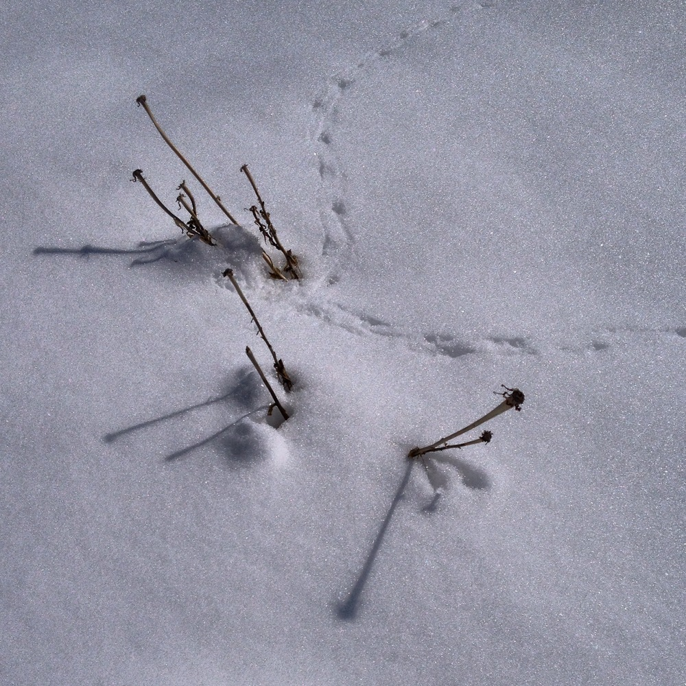 Critter prints in snow.