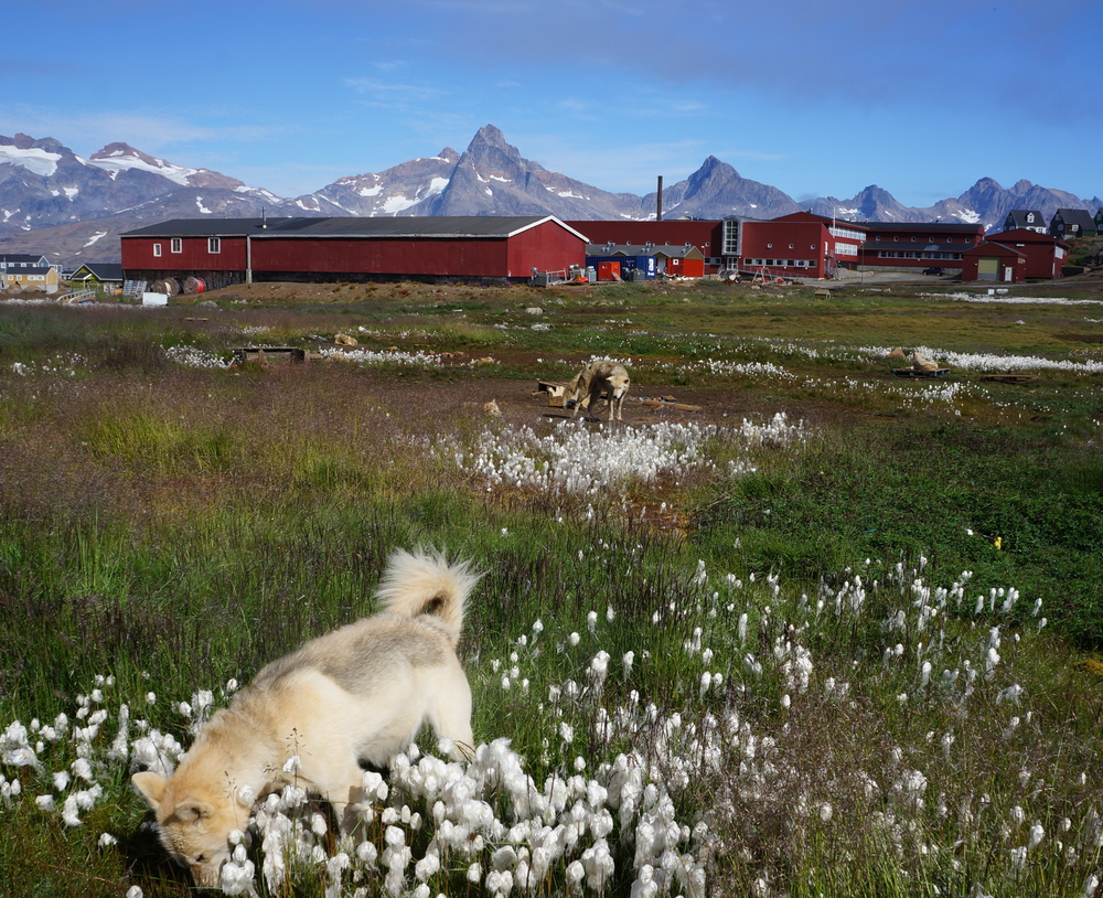 Sled dogs in Tasiilaq