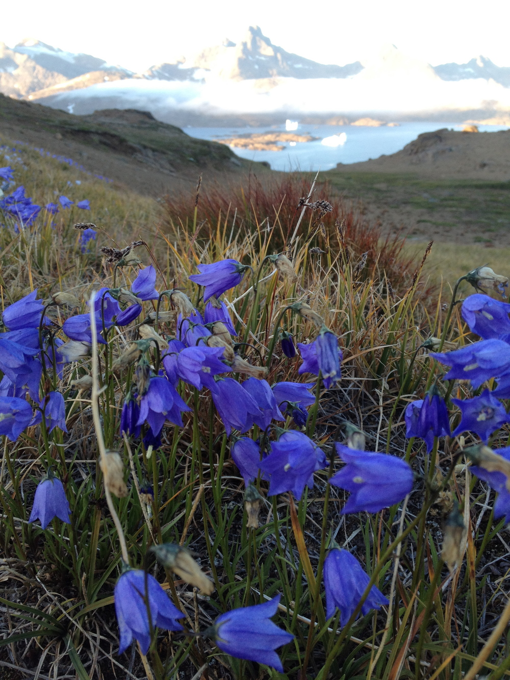 Flowers in Tasiilaq