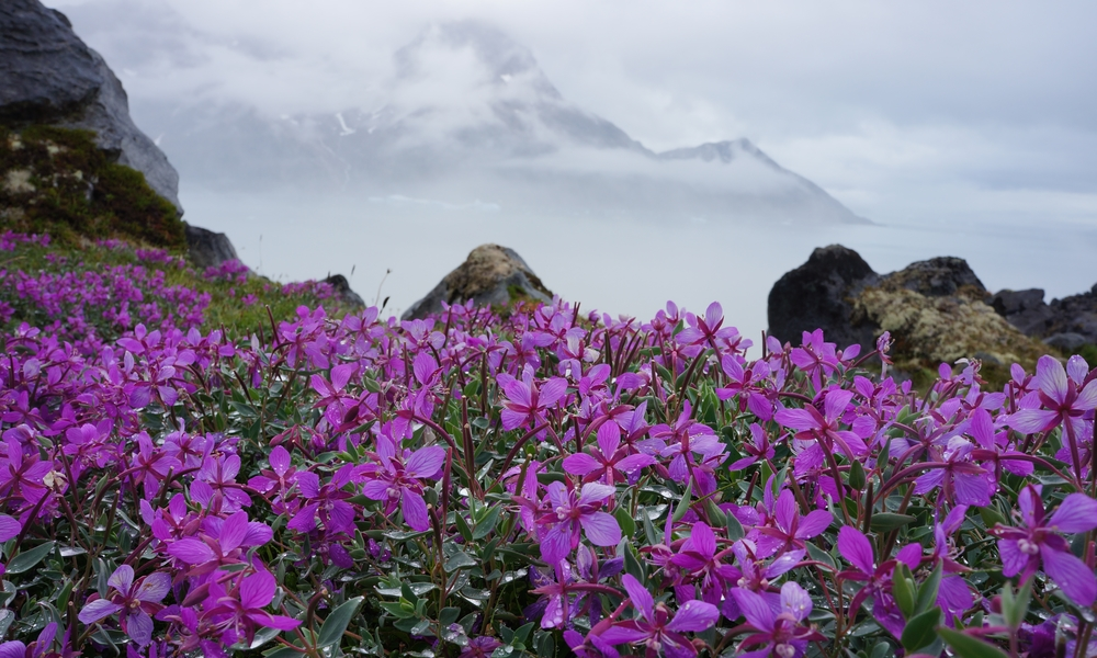 Flowers in Greenland