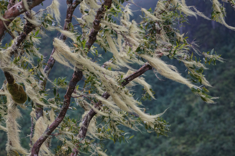 Eerie moss beards blowing in the wind.