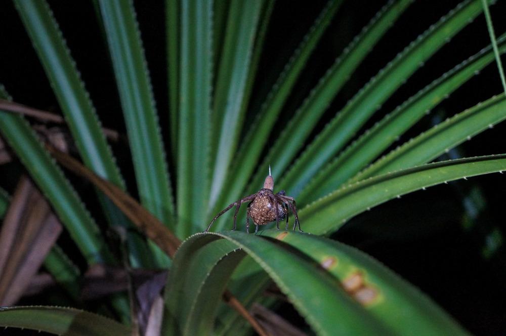Spider bearing many eggs.
