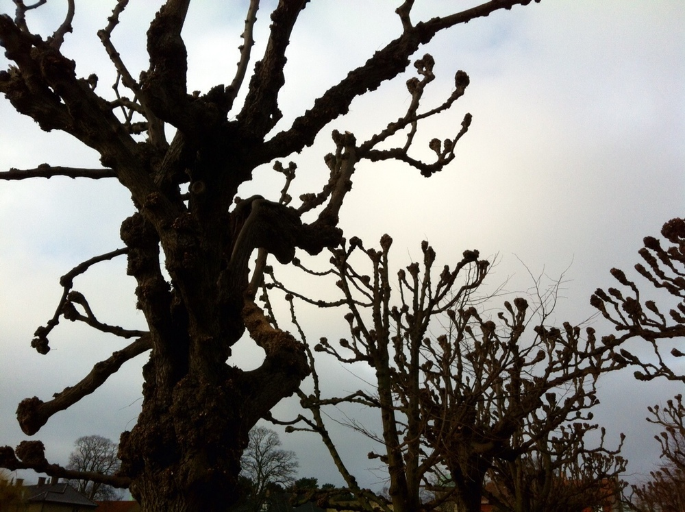 Husallé med de stynede lindetræer. Foto: Inge Panduro 2015