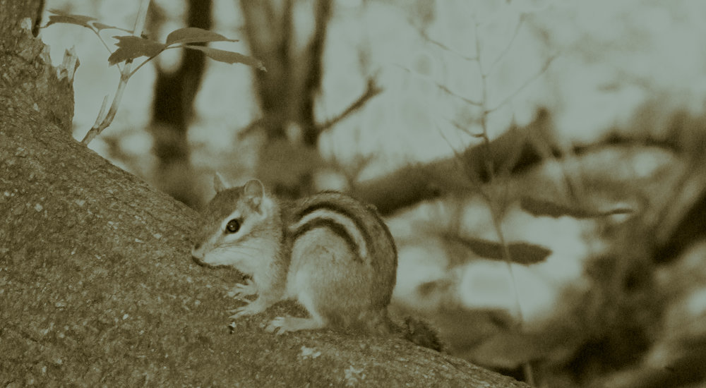 """Wild Chipmunk in Toronto"" by Paul Williams, edited by A. Malcolm"
