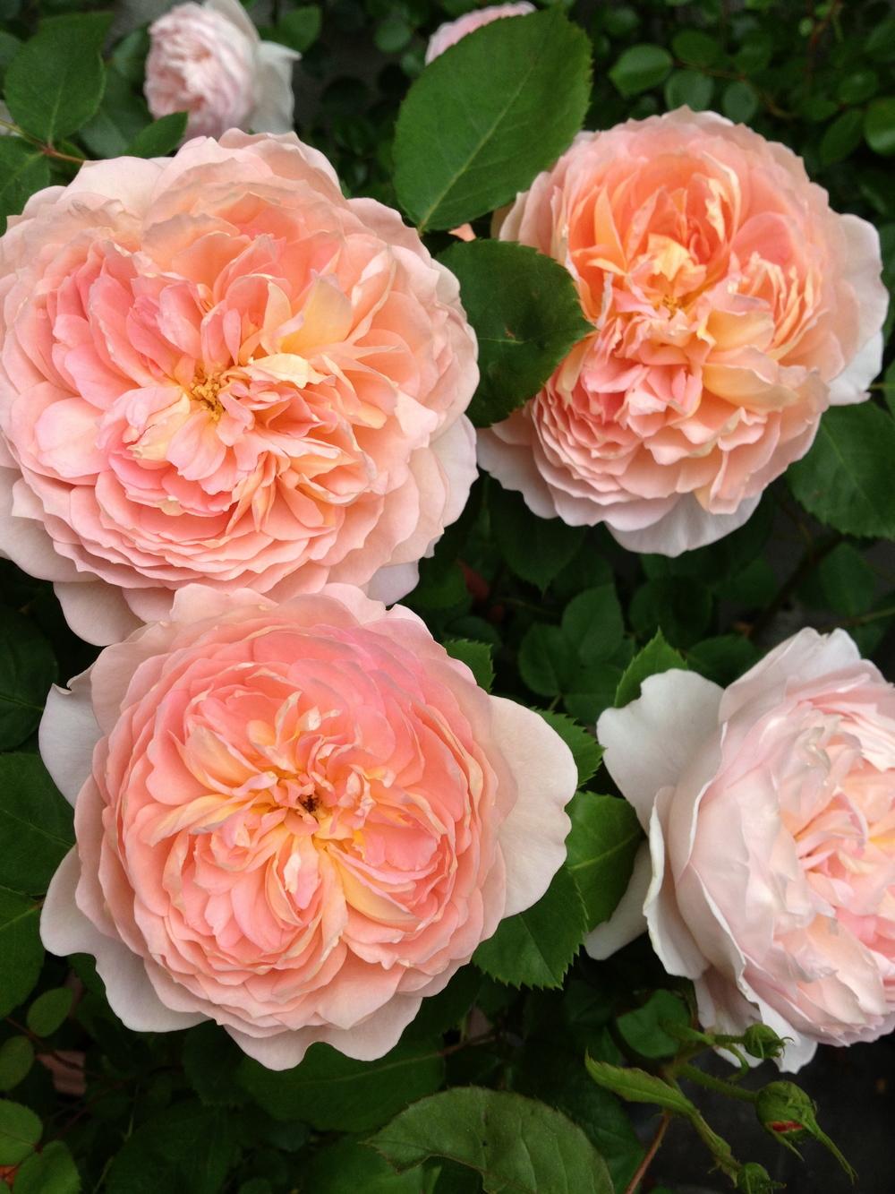 Roof garden trellised roses