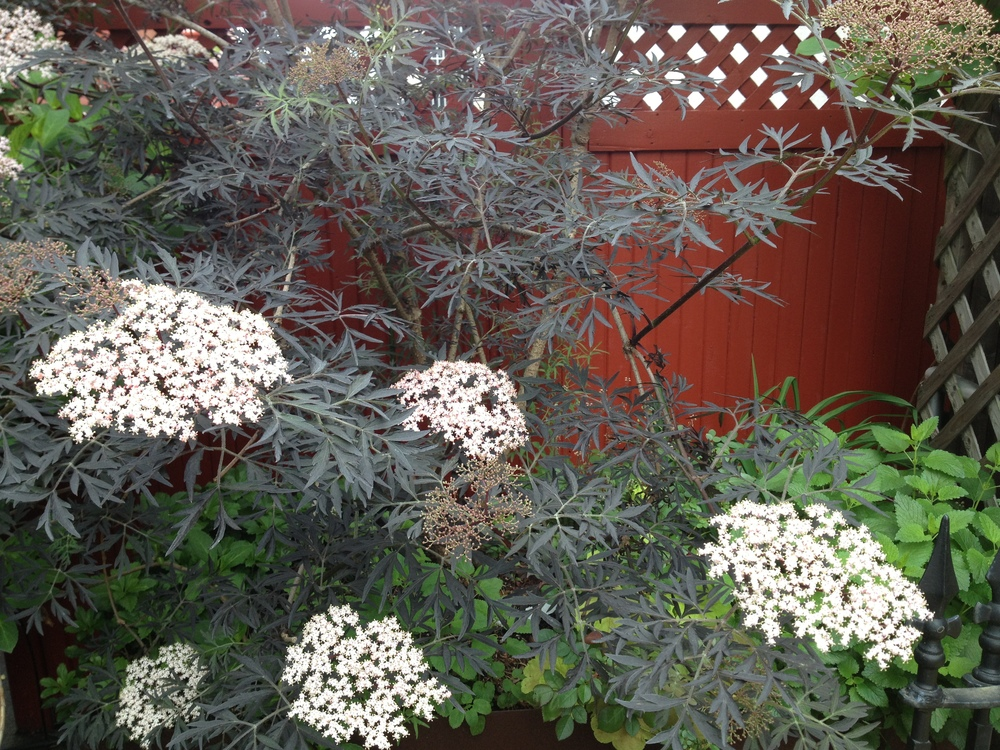 Elderberry shrub in roof garden