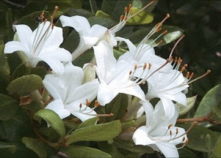 Rhododendron viscosum (Swamp Azalea)  photo: plantsmen.com