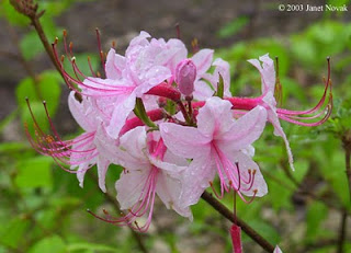 Rhododendron periclymenoides (Pink Azalea)  photo: ctbotanicalsociety.org