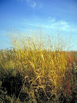 Panicum along the side of a road w. emergent seedheads.  Wikipaedia