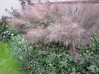 Panicum 'dallas blues' planted in residential garden, with it's bold wispy seedheads. photo ©ToddHaiman2014