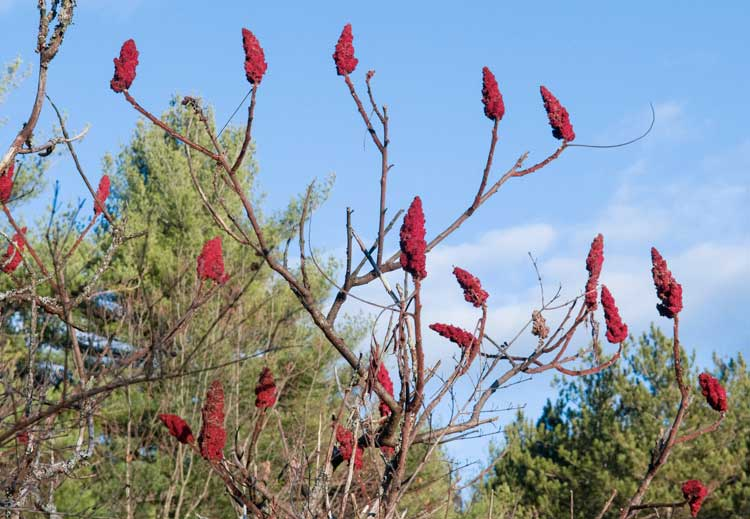 Staghorn sumac in brooklyn garden design
