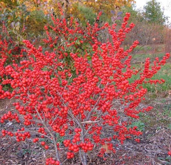 Ilex verticillata 'Red sprite'   photo: naturallandscapenursery