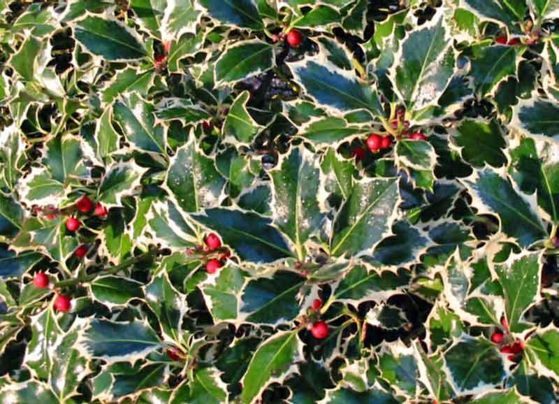 Ilex aquifolium 'Aurea marginata'   photo pro-faber.ro