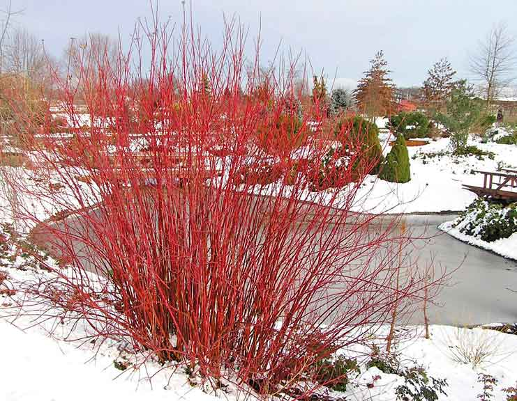 Cornus 'Arctic Fire'   photo: provenwinners.com