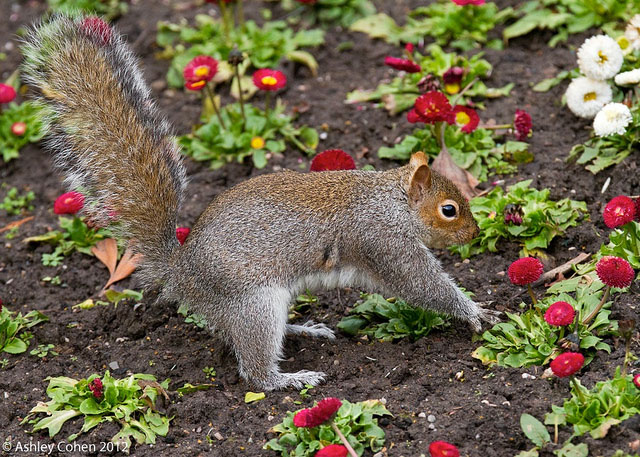 Squirrels in the garden