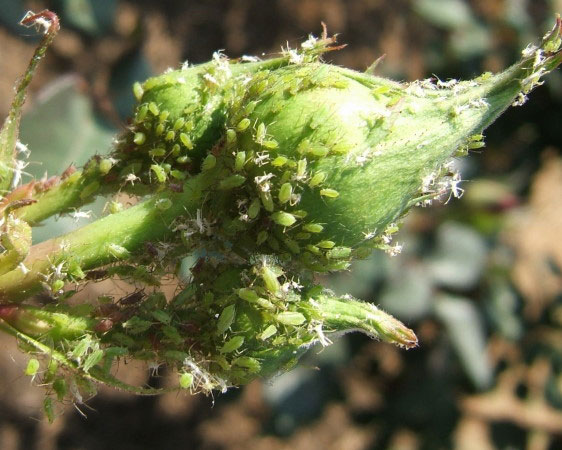 Aphids on a rosebud.  photo by www.biologicalcrophealth.co.za