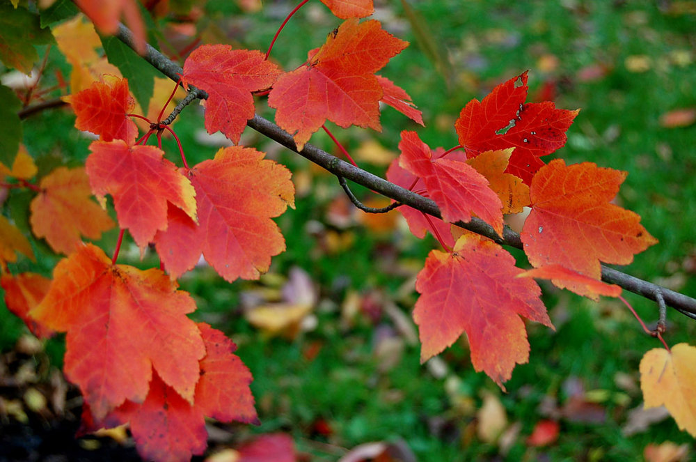 Acer rubrum 'Autumn Glory' is an allergy free shade tree with amazing fall color.  It's a native cultivar of the Northeast United States and extremely tolerant of many soil conditions.