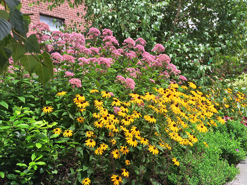 Black eye susan and Joe pye weed surrounded by Grey birches in this urban garden in New York State