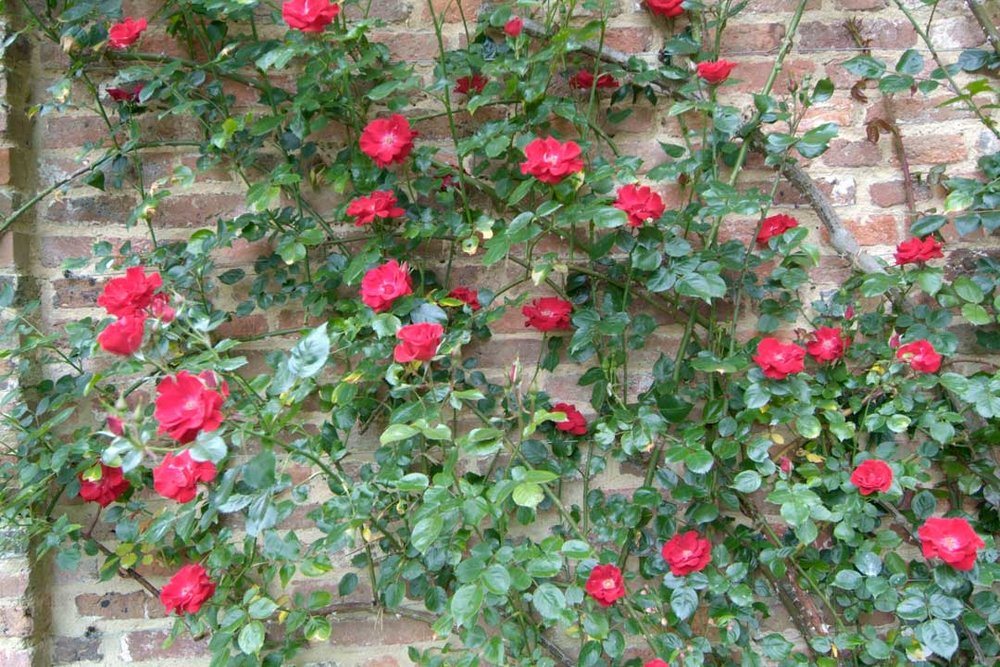 In a New York City garden design we planted red roses, which have escalated up an old brick wall providing an immediate focal point in the garden.