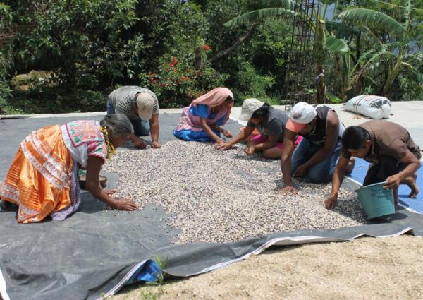 Masienda partner growers hand sorting kernel by kernel.