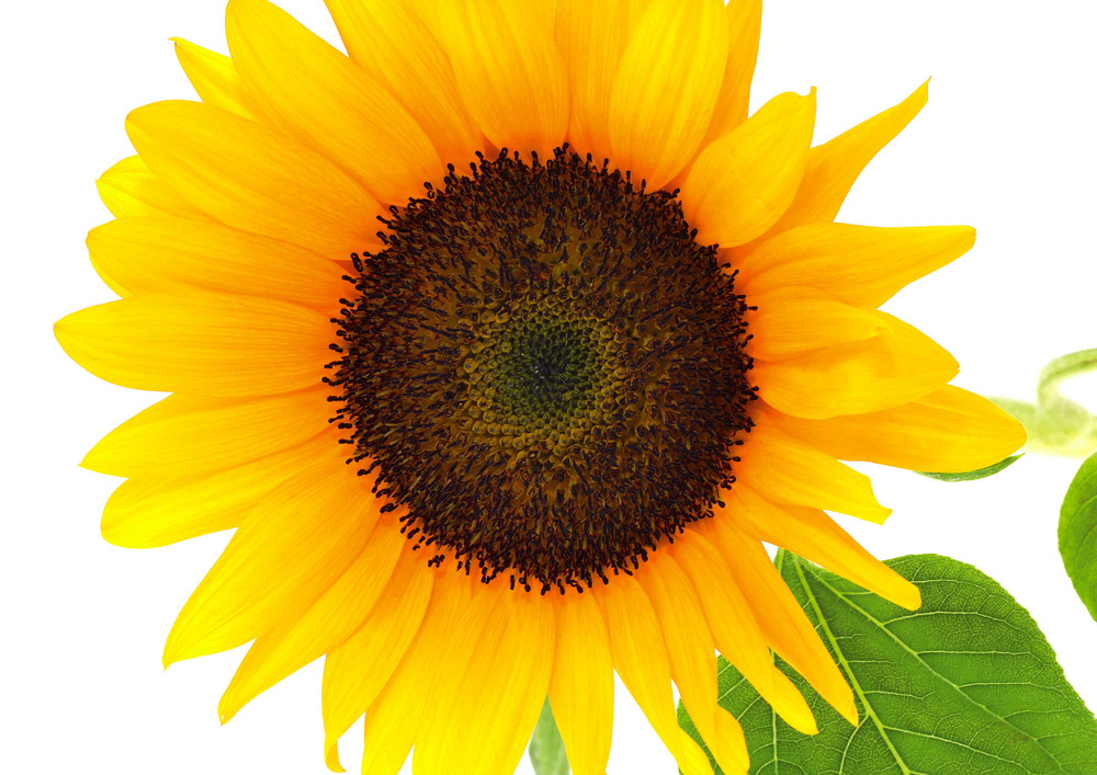 sunflower close up.jpg