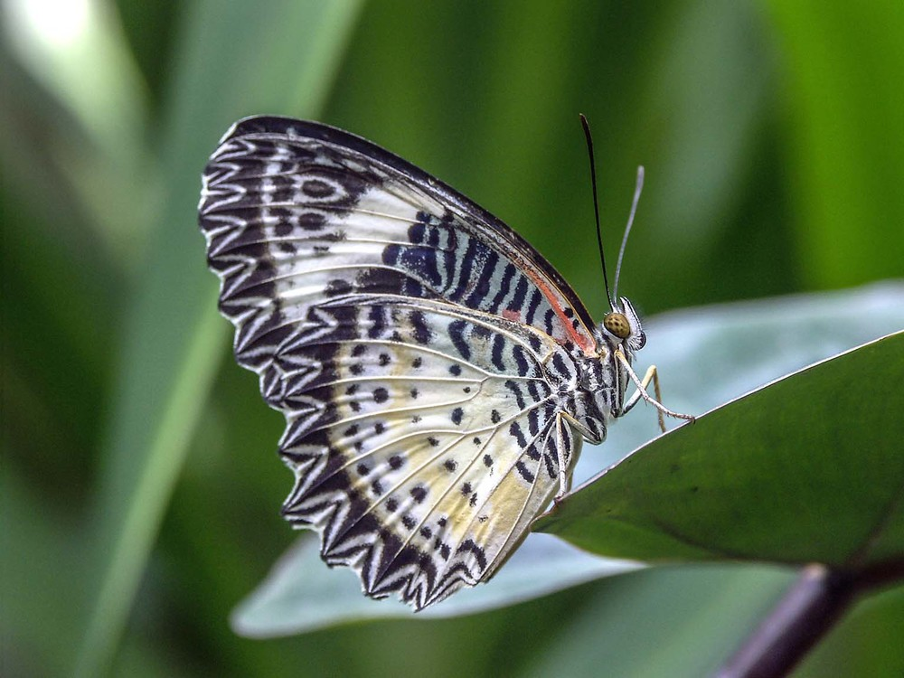 Butterfly in Penang, Malaysia