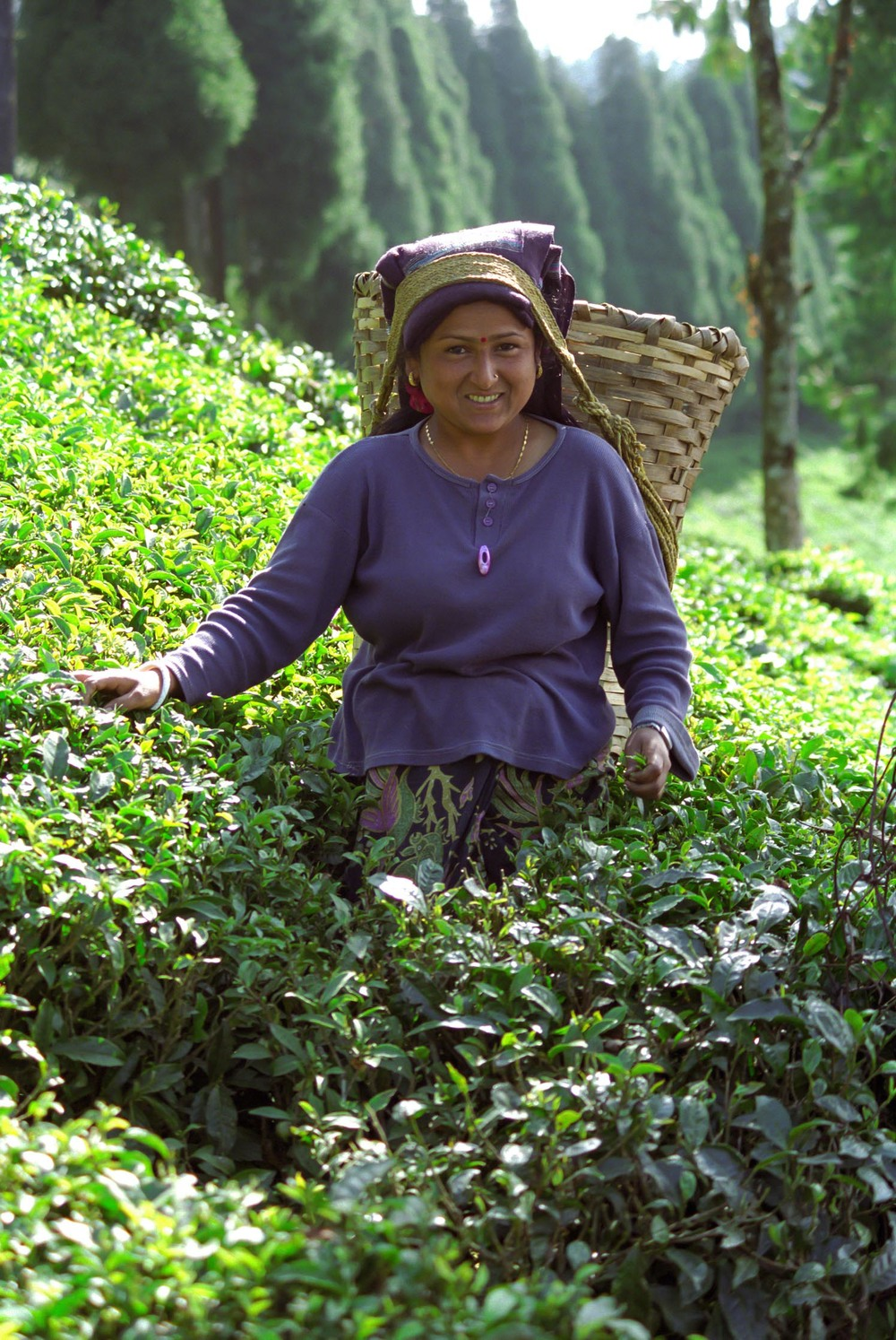 Tea picker in Darjeeling, India