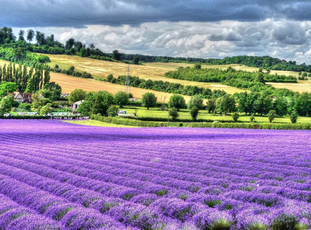 Lavender fields Kent