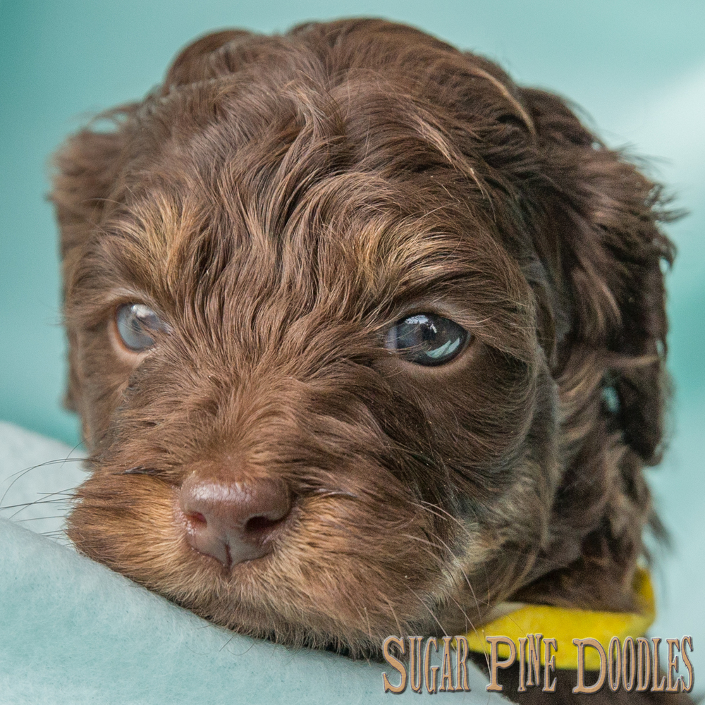 Chocolate Phantom Australian Labradoodle Puppy