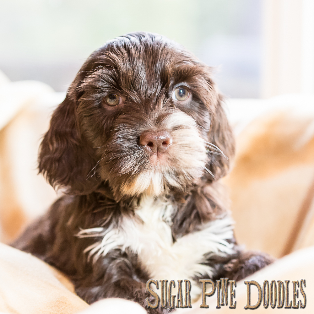 Chocolate Parti Australian Labradoodle Puppy