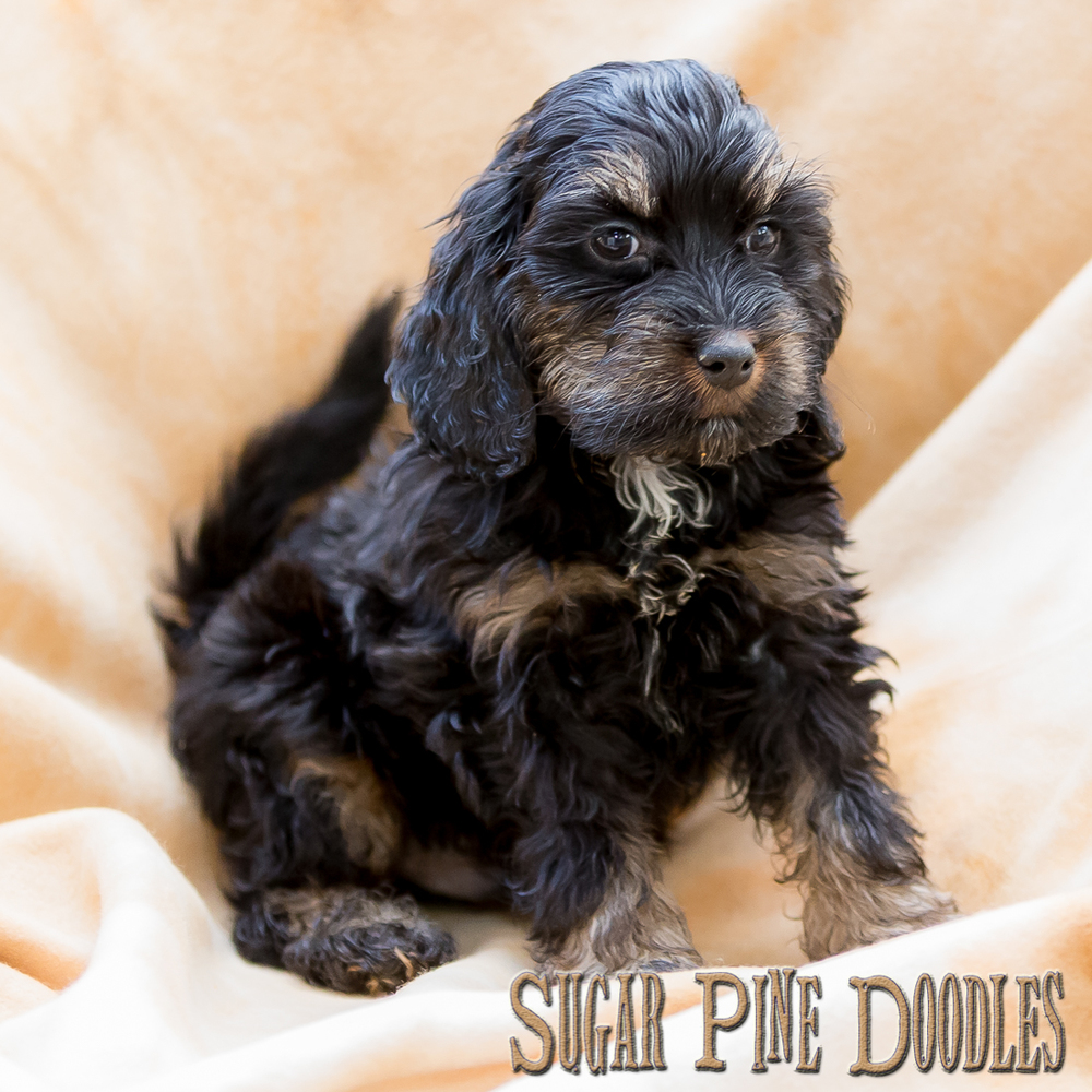Black Phantom Australian Labradoodle Puppy