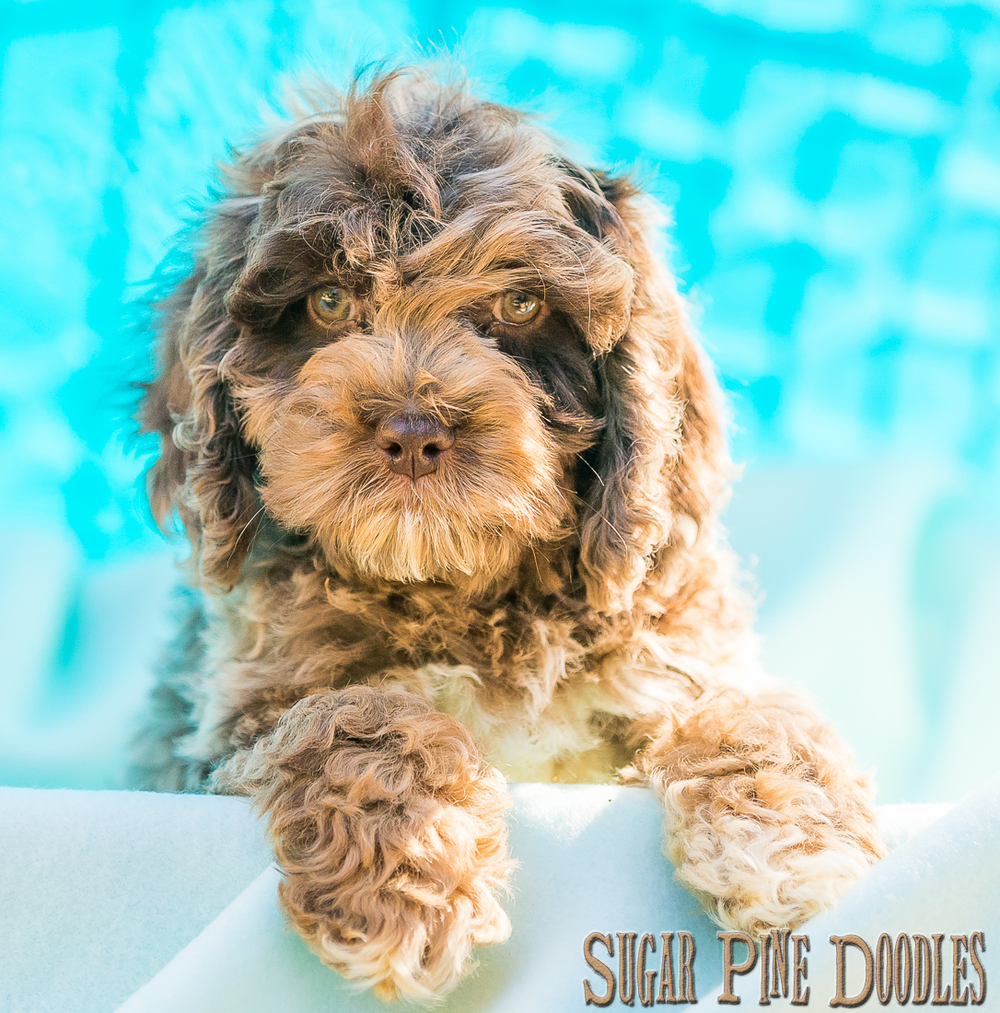 Chocolate Merle Australian Labradoodle Puppy