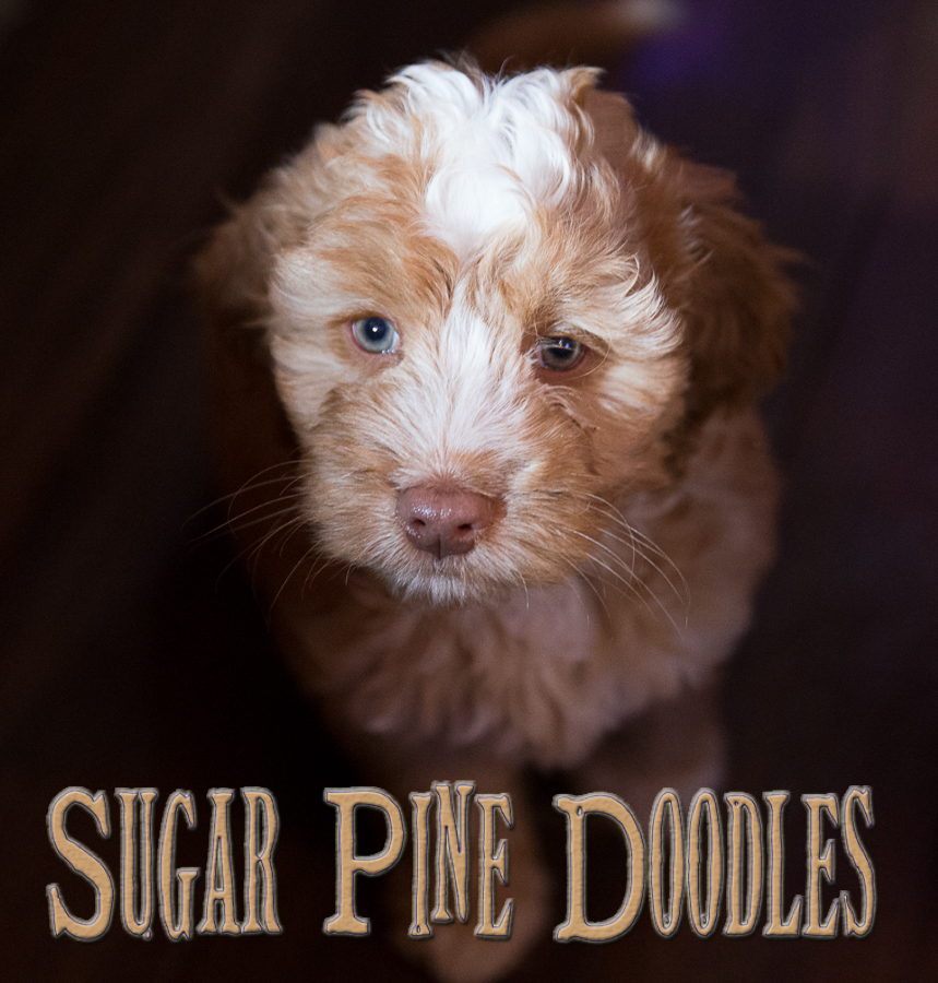 Apricot Australian Labradoodle Puppies