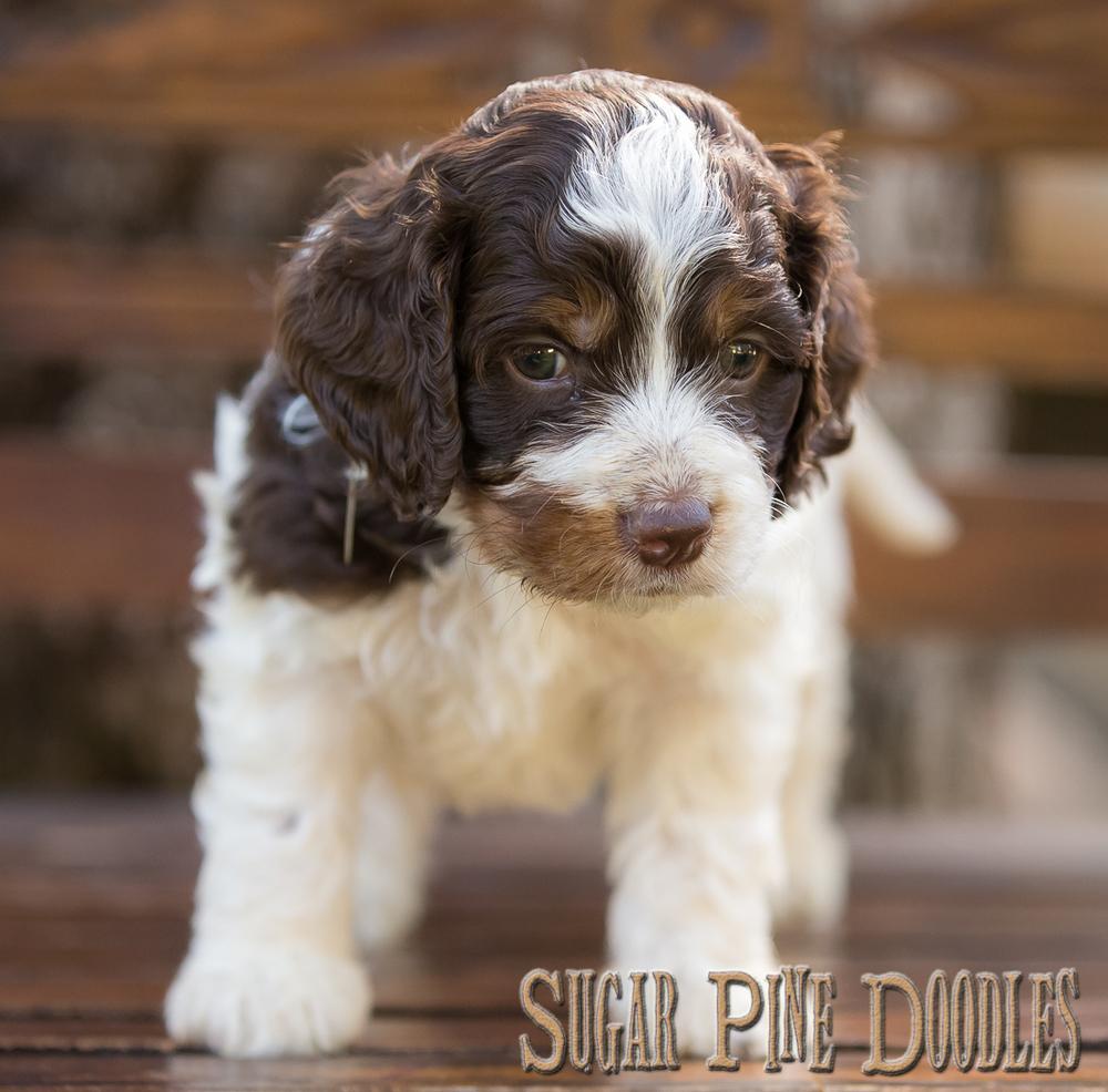 Tri Color Australian Labradoodle Puppy