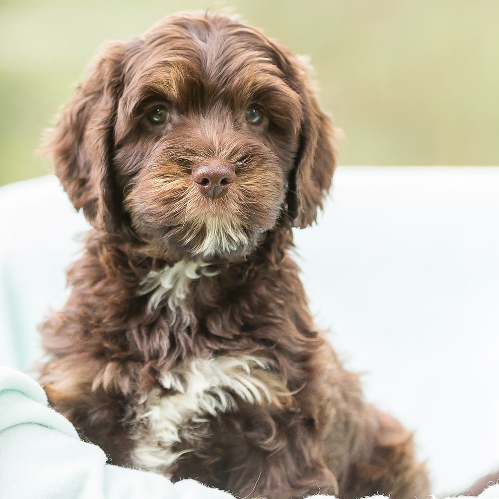 Chocolate Phantom Australian Labradoodle