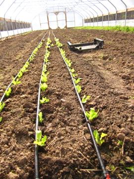 Lettuce-transplants